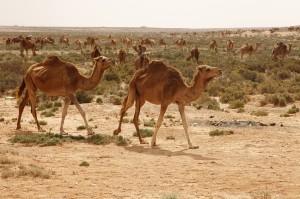 Wüsten-Safari mit Kamelen