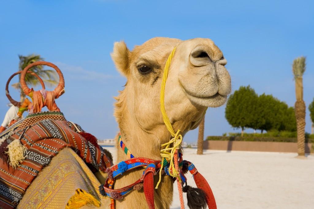 Kamelrennen in Dubai